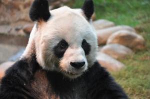 Panda compressed