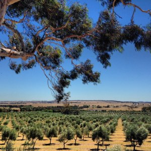 Fedra Olive Grove, on the Federal Highway