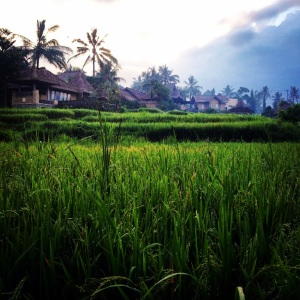 Looking back at the villas from the rice path