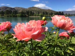 Peonies at Lake Dunstan, Old Cromwell