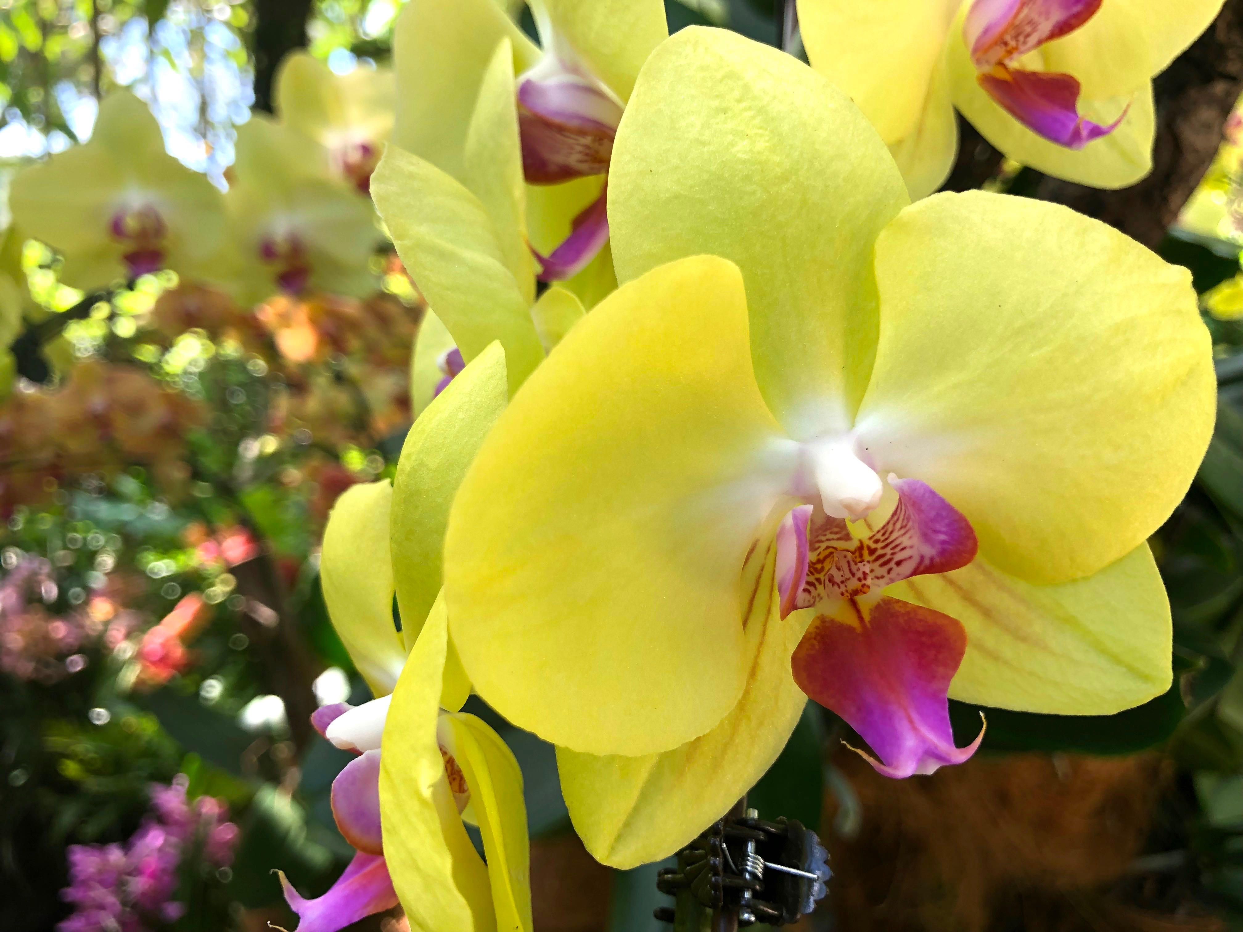 October Squares – Singapore Orchids